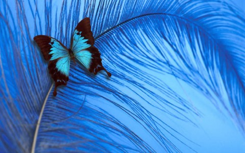 blue-butterfly-yorkshire-rose-wallpapers
